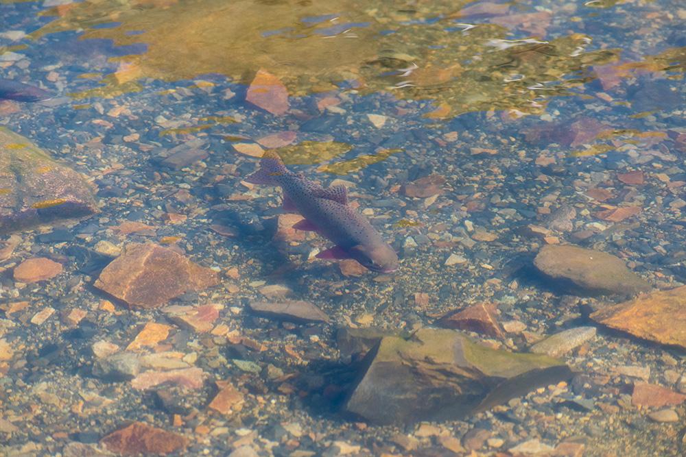 Cutthroat Trout in Lake Agnes Colorado