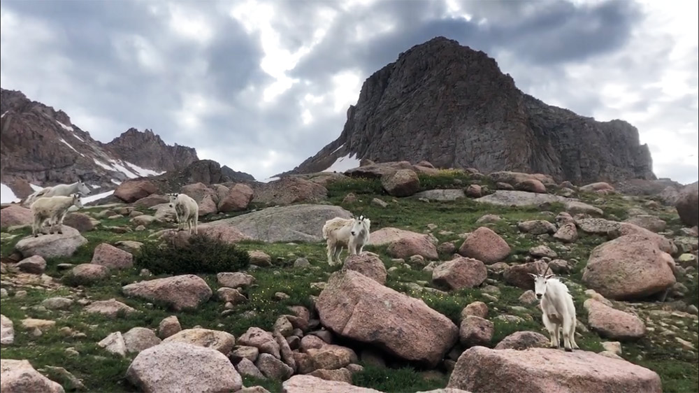 Goats in the Rocky Mountains
