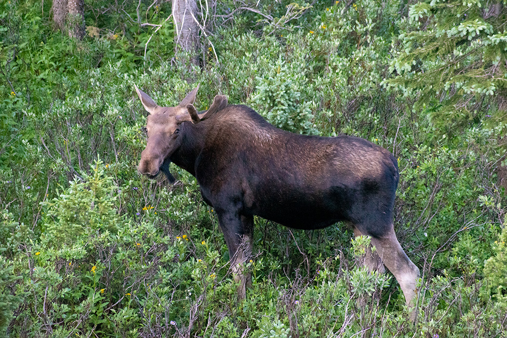 Moose in State Forest State Park Colorado