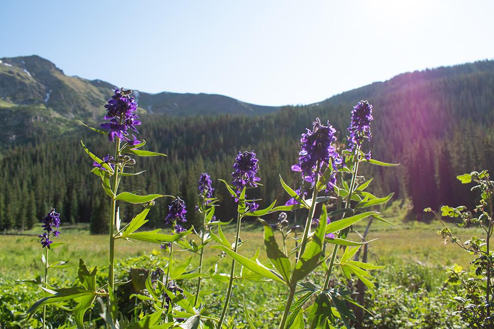 Mountain Wild Flowers in Colorado