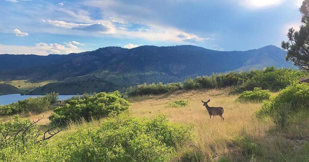 Mule Deer at Horsetooth Reservoir