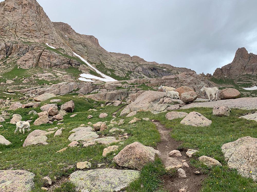 Rocky Mountain Goats Chicago Basin